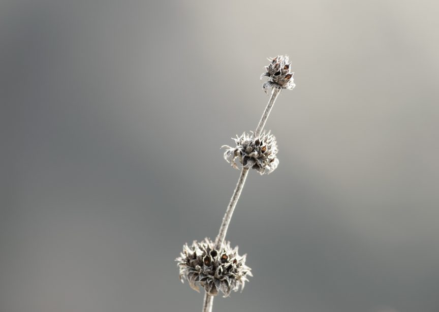 Dried Dandelions